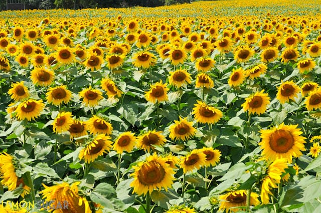 Grinters Sunflower Field-0102