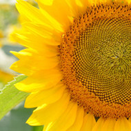 Out and About:  Wine and Sunflowers